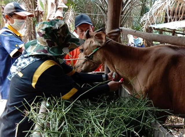 Dinas Pertanian Kapuas Cegah Penyakit Brucellosis pada Sapi