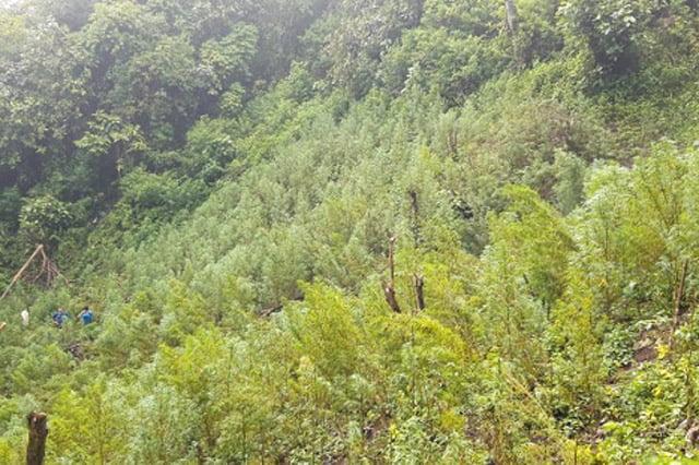 Polisi Temukan Lima Hektar Ladang Ganja di Mandailing Natal