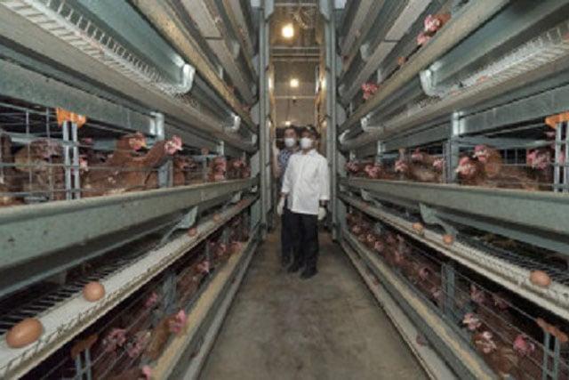 Bupati Banyuwangi Kunjungi Peternakan Ayam Modern Wijoyo Farm