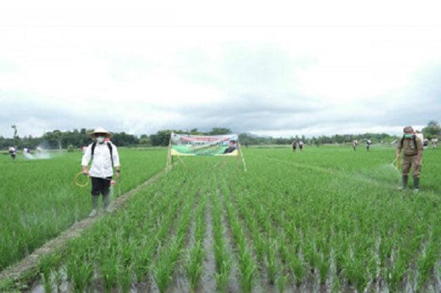 Banyuwangi Gratiskan Pupuk Organik 400 Ha Sawah Per Kecamatan